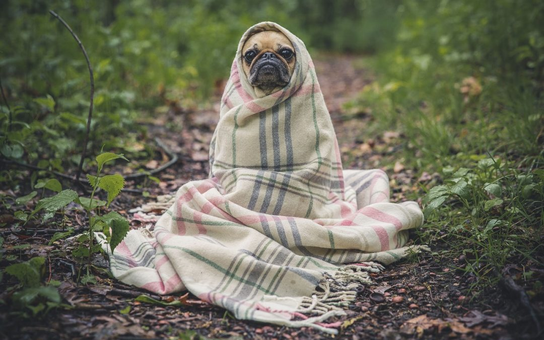 pug, blanket, woods, walking trail